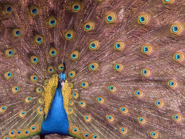 http://www.wideangle.ca/images/peacock.jpg